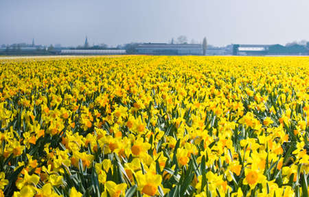 Sea of yellow and orange daffodils in spring in the bulb fields photo