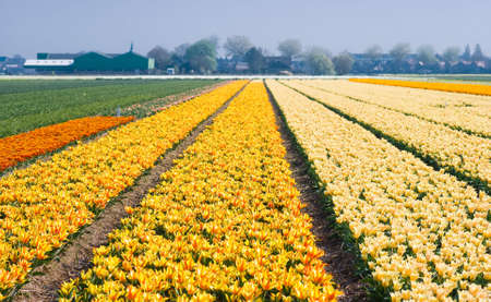 Colorful fields with small tulips blooming in spring photo
