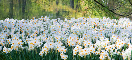 Lots of small white daffodils in park in spring Stock Photo - 4757562
