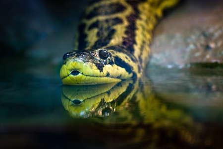 pantanos: Anaconda amarilla nativa de Am�rica del Sur pantanos y marismas