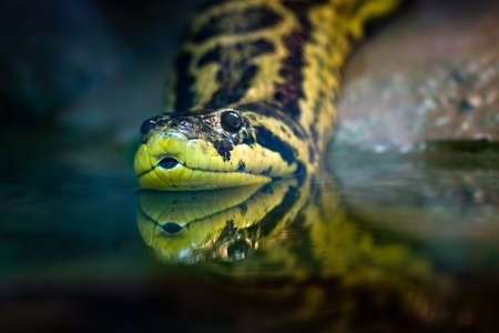 Yellow anaconda native to South American swamps and marshes