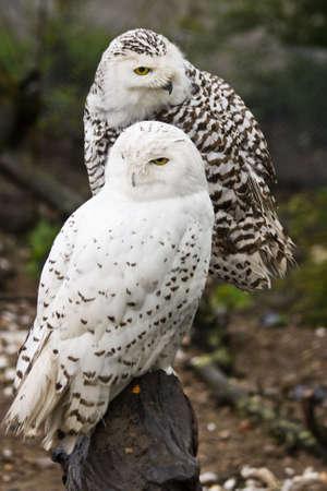 a large bird of prey: Coppia di gufi Snowy, maschio e femmina Archivio Fotografico