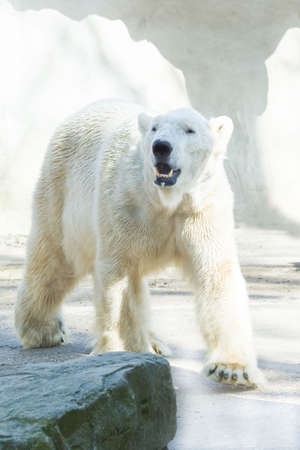 wet bear: Polar bear walking in the morning sun