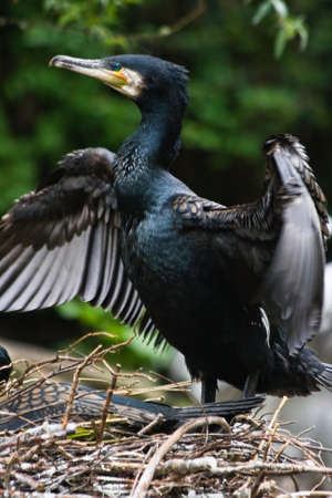 Great cormorant staying on nest and drying wings after fishing Stock Photo - 4840482