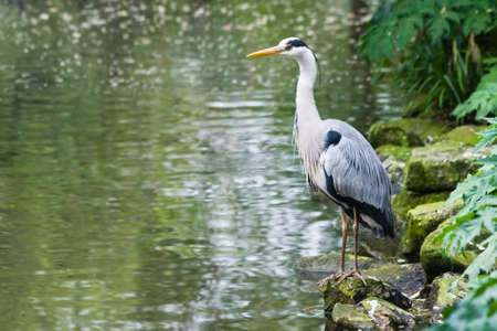 Grey heron standing at the waterside with just eaten fish in neck Stock Photo - 4840483