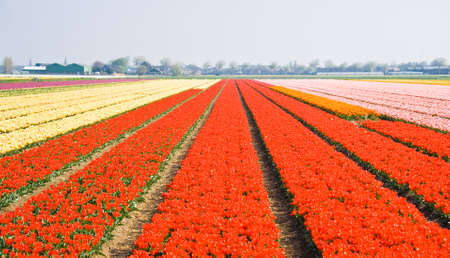 Tulipfields blooming with many colors in springtime photo