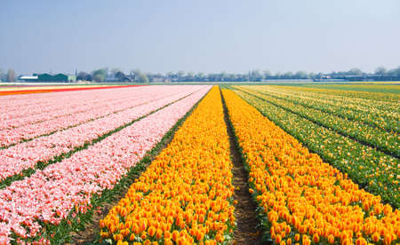 bulb fields: Small tulips in many different colors in the bulb fields in april Stock Photo