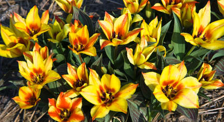 Group of small tulips in yellow and red in spring photo
