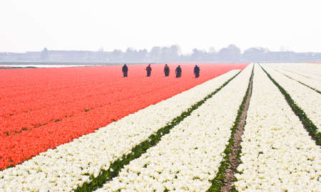 Men searching for wrong colored bulbs in red tulipfield photo