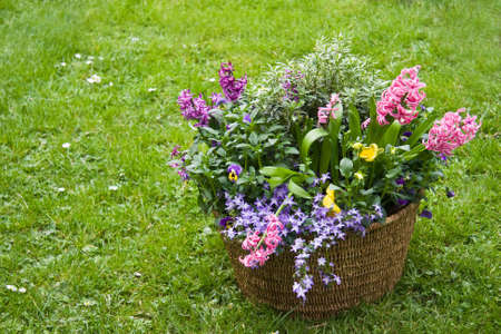 hyacinths: Basket with spring flowers in the garden in april-horzontal image