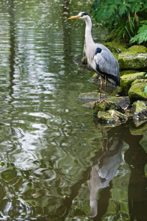 Grey heron standing at the waterside, with reflection in the water Stock Photo - 4904053