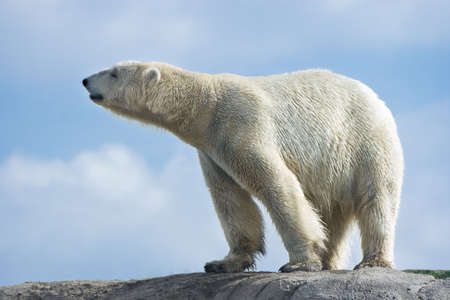 Polar bear walking on rocks on sunny morning with blue sky