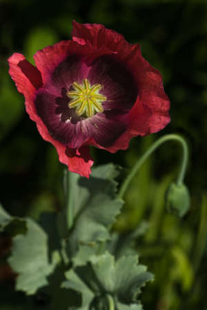 Opium poppy with red flowers for the garden photo