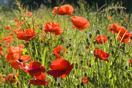 Field with red poppys on a summer morning in the sunshine photo