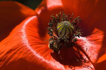 Red Mohn in summersun mit Biene sammelt Pollen Standard-Bild - 5128084