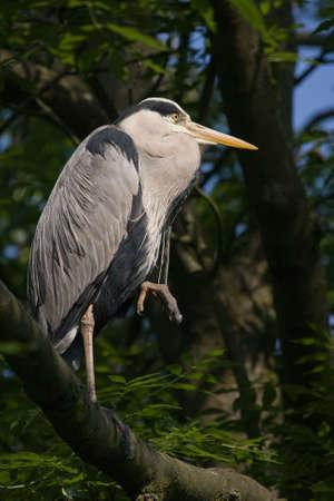 Grey heron on sunny summer morning standing in tree Stock Photo - 5138432
