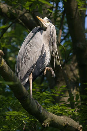 Grey heron standing on branch on sunny summer morning Stock Photo - 5138429