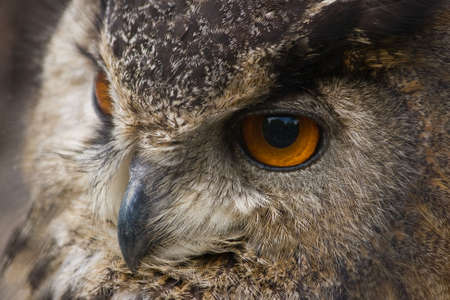 Portrait of Eagle owl in close view