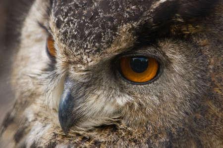 a large bird of prey: Ritratto di gufo reale in stretta vista Archivio Fotografico
