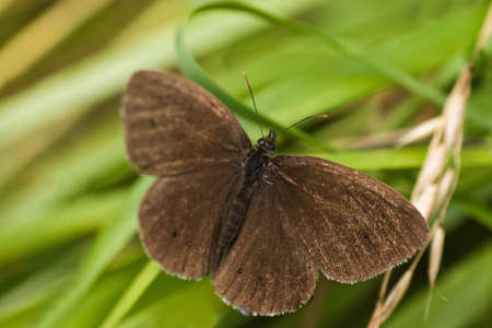 Ringlet butterfly sitting on long grass near the road
