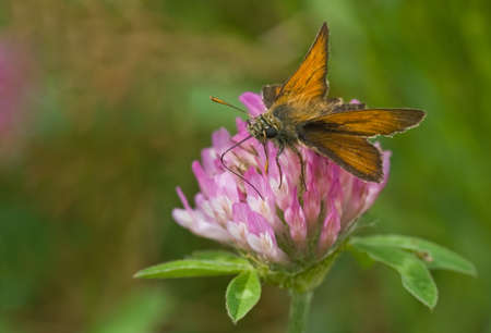 skipper: Large Skipper getting nectar from red clover on sunny day  Stock Photo