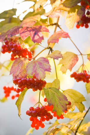 elder tree: Guelder Rose, also called Water Elder, European Cranberrybush, Cramp Bark or Snowball Tree with red berries and colored leaves in autumn with sky background in october