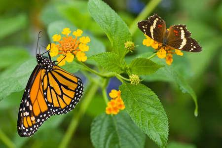 Monarch butterfly getting nectar from  Lantana camara photo