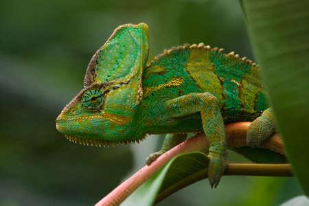 Beaitiful green Jemen chameleon climbing a branch
