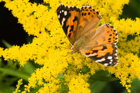 Butterfly Painted Lady getting nectar from yellow solidago flowers Stock Photo - 5322629