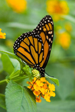 Monarch butterfly on yellow Spanish flag flowers photo