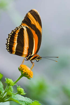 Butterfly Banded Orange Tiger resting on flower photo