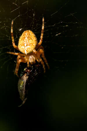 arachnids: European Garden Spider with catched fly as a prey in web Stock Photo