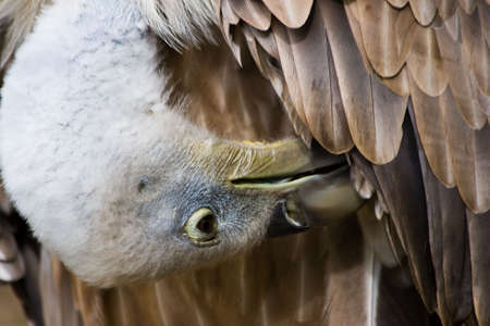 beak vulture: Griffon vulture, with beak between feathers, making toilet