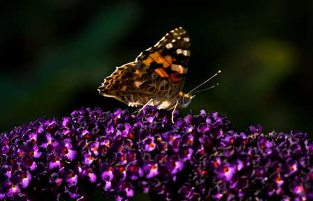 Painted lady drinking nectar from flowers of butterfly bush on summer day