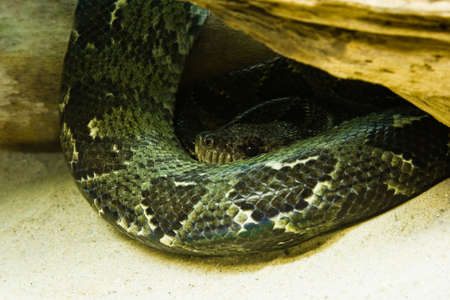pythons: Python - green snake - resting and looking