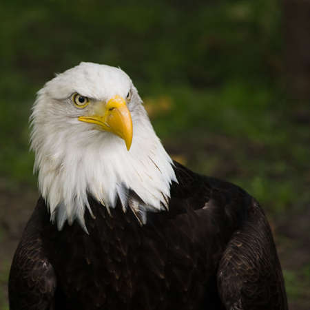 carnivores: Bald eagle, national bird of USA, square cropped image Stock Photo