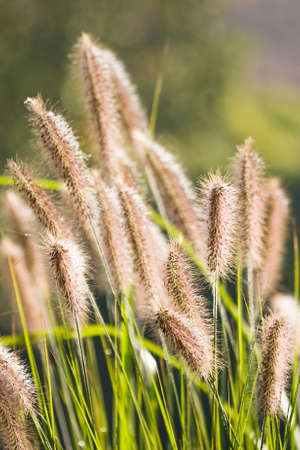 Ears of Chinese Fountain Grass with sunshine in autumn