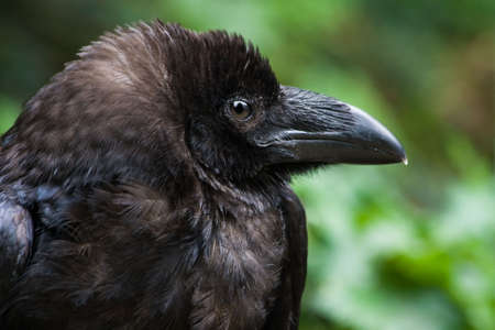 Common raven or Northern raven in side angle view - horizontal image Stock Photo - 5787542