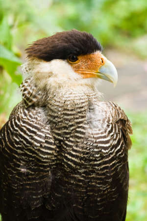Portrait of Caracara in side angle view - vertical image photo