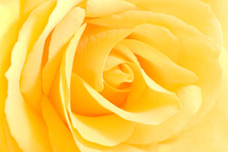 Soft yellow rose in close view - horizontal image Stock Photo