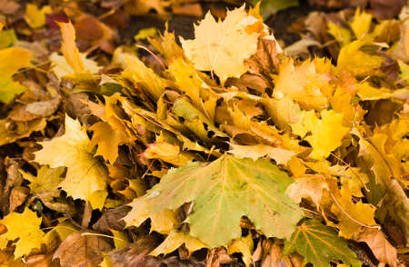 Bunch of yellow leaves in autumn fallen from tree goin where the wind them blows Stock Photo - 5864965