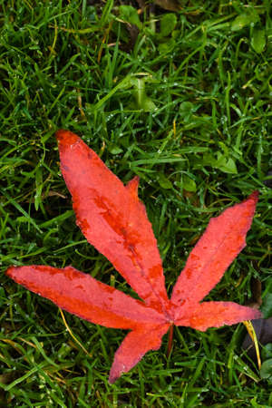 Red fallen leaf on grass in autumn rain - vertical image Stock Photo - 5864971