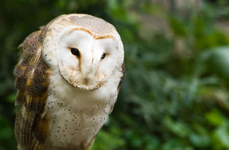eyes cave: Portrait of Barn owl or Church owl sitting and watching - horizontal image Stock Photo