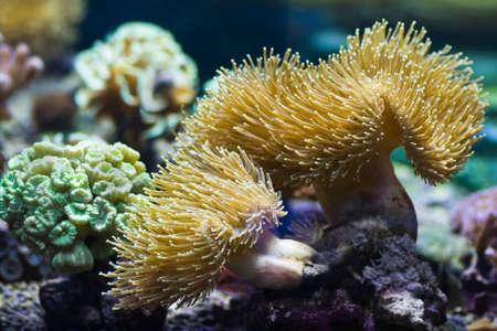 predatory: Sea anemones are predatory sea animals, look like a flower Stock Photo