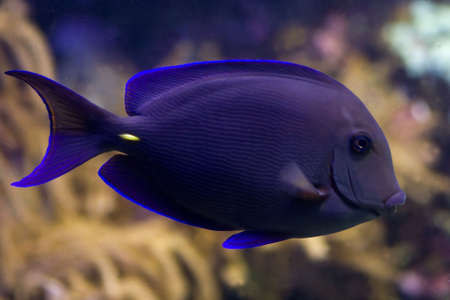 surgeonfish: Surgeonfish, tropical coral fish with coral in background