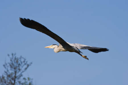 Grey heron in flight with blue sky background Stock Photo - 5892958
