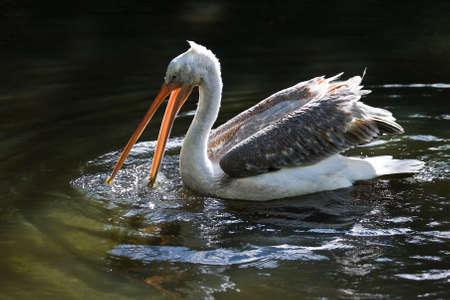Pelican swimming and fishing with open beak in sunshine Stock Photo - 5936395