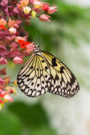 Tropische papier vlieger of Sunburst Rice Paper butterfly - verticale afbeelding  Stockfoto