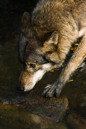 Wolf crossing the water- vertical image
