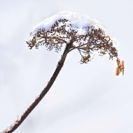 freeze dried: Imagen de flores con snowcap en invierno - cuadrado recortadas de hydrangea secas  Foto de archivo